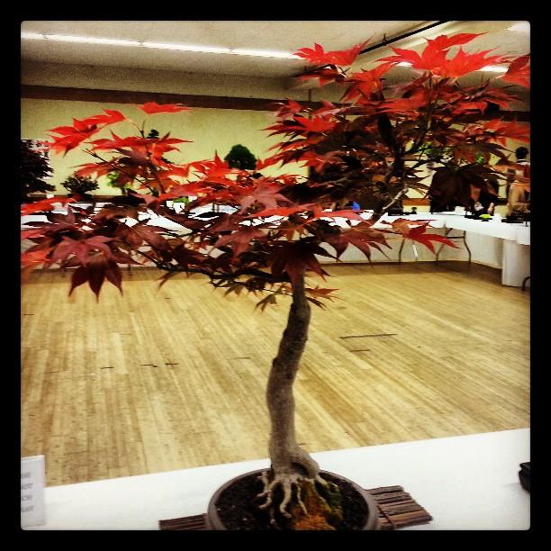 Bonsai at the Cherry Blossom Festival